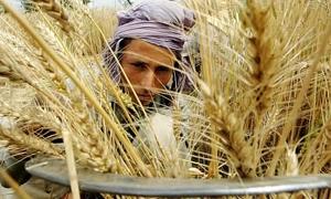 ارتفاع المساحات المزورعة بالقمح في سورية لأكثر من مليون هكتار لغاية الآن