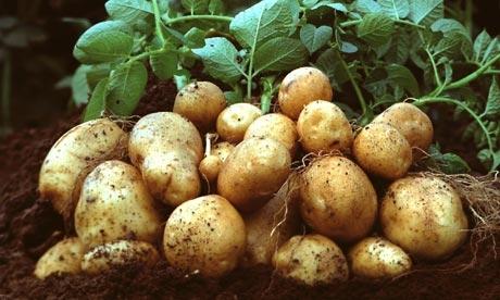 الزراعة: استيراد بذار البطاطا حصرياً عن طريق مؤسسة الإكثار