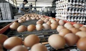 مؤسسة الدواجن: انخفاض إنتاج البيض في سورية من 5 مليارات إلى 1.8 مليار بيضة سنوياً