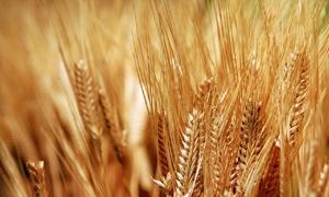 مخزون سورية من القمح يكفي لأكثر من عام