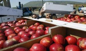 أكثر من 200 ألف طن الإنتاج المتوقع لمحافظة حمص من الزيتون والتفاح