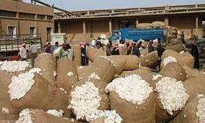 تسويق 240 ألف طن من القطن في الحسكة بعد تمديد وزارة الزراعة لفترة الشريحة الاولى