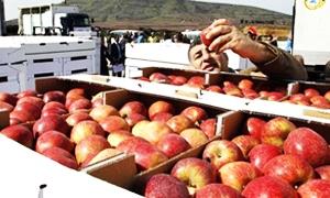 التفاح الجولاني يواصل دخوله الاسواق المحلية من خلال استجرار 2200 طن مجدداً