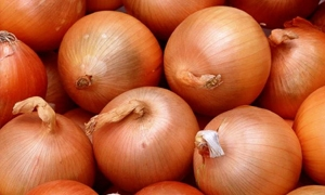 مديرية زراعة حماة تتوقع إنتاج 9.5 آلاف طن من البصل الأحمر الموسم الحالي