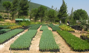 الزراعـة :إنتاج  أكثـر من4ملايين غرسة مثمرة.. والبدء بتوزيع غراس الزيتون والحمضيات