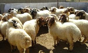 وزارة الزراعة تبدأ بترقيم الثروة الحيوانية في سورية .. والبداية في 5 محافظات