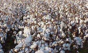 حماة: 60 طناً إنتاج محلج الفداء من القطن يومياً