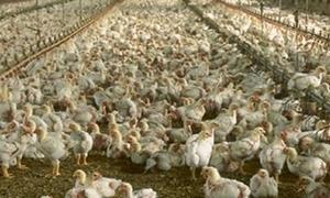 الزراعة تخطط لإنتاج 201 مليون بيضة و 6 ملايين صوص فروج في 2015