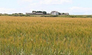 1.3 مليون هكتار اجمالي المساحة المزروعة بالقمح في سورية.. وزير  الزراعة: تجاوب سريع لتأمين ريّة أيّار للقمح