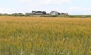 هيئة البحوث العلمية الزراعية تتوصل إلى سلالات من القمح عالية الغلة للزراعة