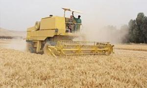 مؤسسة الحبوب بحلب تستكمل استعداداته لاستلام نحو 800 ألف طن من القمح