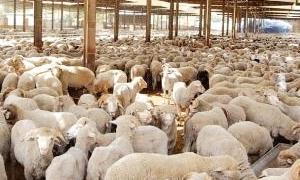 الزراعة: السماح بتصدير 6 آلاف رأس غنم للتاجر الواحد