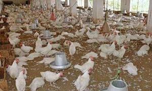 الزراعة: استيراد الفروج المجمد سيخرج الكثير من المربين  وسيعرض استثمارات تقدر بنحو 150 مليار ليرة للخطر