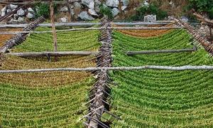 تشكيل لجنة لدراسة رفع أسعار شراء التبغ من المزارعين.. وكيلو البلدي بـ200 ليرة