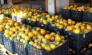 خزن حماة تستجر 1500 طن من الحمضيات