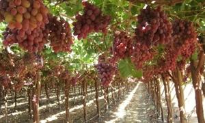 تصدير العنب يرتفع برغم إغراق السوق بالعنب السوري