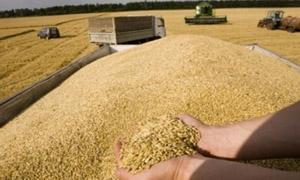 نحو 1.5 مليون طن الإنتاج المتوقع للقمح في محافظتين سوريتين