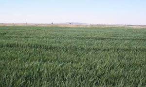1.251 مليون هكتار المساحات المزروعة لغاية الآن.. القادري: إقبال على تنفيذ زراعة القمح والشعير