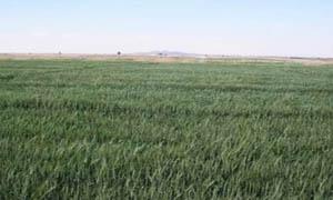 القادري: محصول القمح والشعير في سورية بحالة ممتازة..و123% تنفيذ المحاصيل العطرية