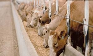 الزراعة:السماح للسمتوردين بإستيراد الأعلاف مباشرة وإعفاء مربي الدواجن والمباقر من ضريبة الدخل