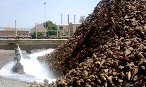 113  ألف طن الشوندر السكري المسوق والمصنع