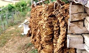 مصادر: مؤسسة التبغ تدرس رفع أسعار شراء بعض أصنافها