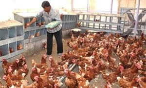 الدواجن : استيراد 90 ألف بيضة تفريخ