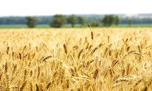 مديرية زراعة الحسكة تتوقع إنتاج نحو 1.058 مليون طن من القمح الموسم الحالي