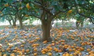 نحو 303 ملايين ليرة تعويضات صندوق الجفاف للمزارعين خلال 2014