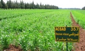 مليوني هكتار إجمالي المساحات المزروعة بالقمح والشعير في سورية بنسبة تنفيذ 70%