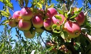 الزراعة تعتمد 16 صنفاً من الأشجار المثمرة المتفوقة انتاجياً
