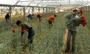 قطاع الزهور في سورية يحتضر.. شبعاني:80% من منتجي الزهور أصبحوا خارج العملية الانتاجية