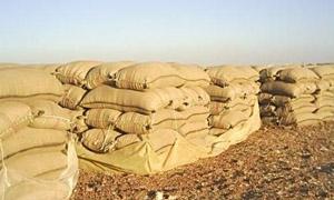 تسويق 427 ألف طن من القمح في سورية لغاية أمس
