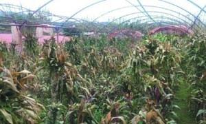شبعاني: 3 آلاف بيت محمي لإنتاج الزهور تعرضت لأضرار وتحذير من نكسة في القطاع بعد العاصفة