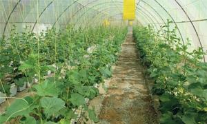 25 ألف هكتار المساحة المزروعة بالبقوليات في إدلب
