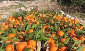 200 ألف طن إنتاج طرطوس من الحمضيات