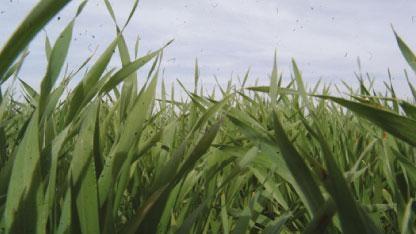 تراجع زراعة المساحات المروية للمحاصيل الشتوية في سورية لـ50% ..واصابات حشرية في حقول القمح