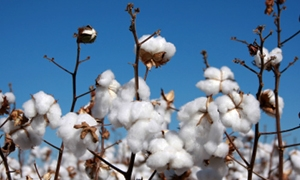 الحكومة توافق على تنفيذ مساحة 187 ألف هكتار من محصول القطن وتأمين كافة مستلزماته