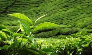 الطلب القوي على الشاي يُبقي سعره مرتفعاً