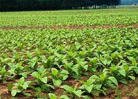 بدءاً من الموسم الحالي التبغ ترفع أسعار الأصناف المزروعة