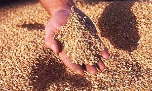 سوريا تشتري أول شحنة من القمح الفرنسي منذ عامين عبر وسيط لبناني بقيمة 12 مليون دولار