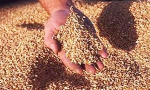 26 طناً من القمح في