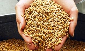 2.2 مليون طن إنتاج القمح المقدر للموسم الحالي في سورية