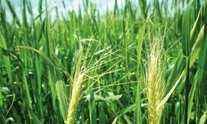 الحكومة ترفع أسعار مبيع اصناف القمح السوري 58% للطن الواحد
