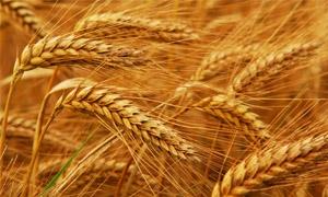 مليون طن كميات الحبوب المستلمة