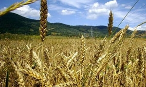 وزير التجارة: شراء 400 الف طن قمح من المزارعين لغاية الآن