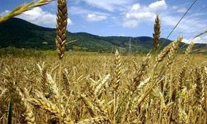 المؤسسة العامة بالحسكة تبدء بتوزيع بذار القمح على الفلاحين