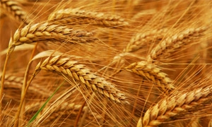 اسعار القمح الأمريكي قرب أدنى مستوياتها في ثمانية أشهر