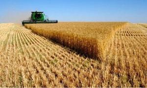 1.6 مليون طن كمية القمح المسوق