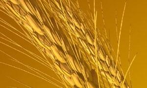 إلغاء مناقصة لشراء 100 ألف طن من القمح الطري